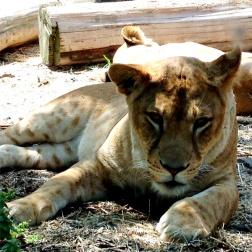 子どもライオン。中途半端な迫力感。