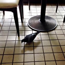 室内まで乱入してきたハト。